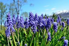 Beautiful blue muscari botryoides flowers, also known as grape hyacinth in summer Royalty Free Stock Image