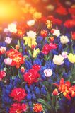 Beautiful blue muscari and multicolor tulips. Spring flowers Royalty Free Stock Images