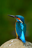 Beautiful blue and orange bird sitting on the stone in the river. Kingfisher in the nature habitat. Wildlife scene from Europe. Bi Royalty Free Stock Photos