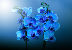 Beautiful blue orchid flowers Royalty Free Stock Photo
