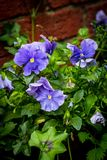 Beautiful blue pansies in the home garden. Beautiful, blue pansies growing in the garden close up stock image