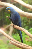 Beautiful blue parrot in Loro Park in Puerto de la Cruz on Tenerife, Canary Islands Stock Photos