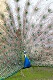 Beautiful blue peacock Stock Photo