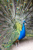 Beautiful Blue Peacock. Blue peacock with colorful opened feathers stock images