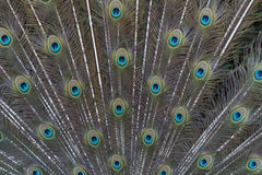 Beautiful blue peacock big bird 3 Stock Photo