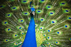 Beautiful blue peacock with colorful open feathers Stock Photo