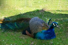 A blue peacock & x28;  Pavo cristatus  & x29;   is sitting in the grass. A beautiful blue peacock   & x28;   Pavo cristatus  & x29;    is sitting in the green royalty free stock photos