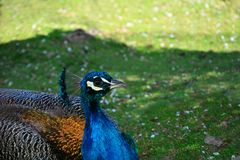 A peacock  & x28;   Pavo cristatus  & x29;   is sitting in the grass. A beautiful blue peacock  & x28;  Pavo cristatus  & x29;   is sitting in the green grass stock photography