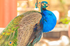 Beautiful blue peacock. Stock Photography