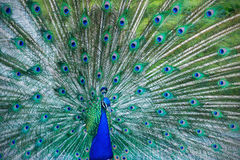 Beautiful blue peacock in a public park in Madrid Stock Images