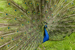 Beautiful blue peacock. Showing his feathers Royalty Free Stock Images