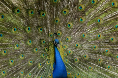 Beautiful blue peacock. Showing his feathers Stock Images
