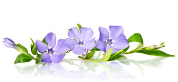 Beautiful blue periwinkle Stock Photography