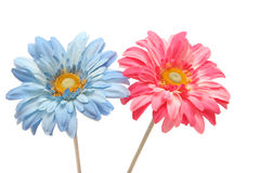 Beautiful blue and pink gerbera daisy isolated on white. Beautiful pink and blue color gerbera daisy isolated on white background Stock Photo