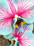Blue Orchids. Beautiful blue and pink orchids Royalty Free Stock Image