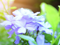 Beautiful blue Plumbaginaceae flower under sun light Stock Photography
