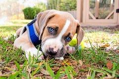 Beautiful Blue Puppy Eyes Stock Photo