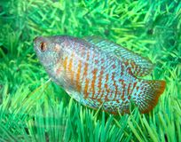Beautiful blue-red aquarian small fish Royalty Free Stock Image