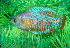 Beautiful blue-red aquarian small fish. Ljalius ordinary Colisa lalia a beautiful blue-red aquarian small fish Stock Photos