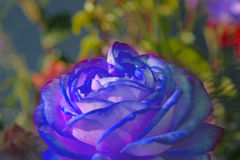 Beautiful blue rose closeup. Into green garden Stock Images