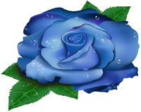 Beautiful blue rose. With green leaves flower petals with  transparent dew  drops   isolated object Royalty Free Stock Photography