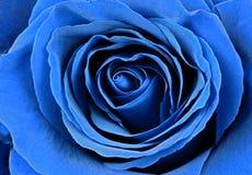 Beautiful blue rose, macro shot Royalty Free Stock Images