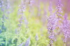 Blue Salvia Flower. Beautiful blue salvia flower Scientific name is Salvia farinacea Benth Normal name is Mealy Cap Sage blooming in the garden. Pastel tone royalty free stock photography