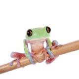 Beautiful blue-sided tree frog on white background Stock Photography