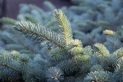 Beautiful blue silver colored Colorado spruce Picea pungens `Glauca`  in the evening light. Fantastic silvery blue colors of this Picea pungens `glauca`, also royalty free stock photography