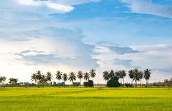 Nature landscape, coconuts tree growing up in the organic rice field and beautiful blue sky cloud background in countryside. Beautiful blue sky background over stock images