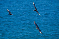Beautiful blue sky and black birds flying Royalty Free Stock Image