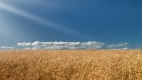 Wheat field. Beautiful blue sky over golden wheat field. Summertime 4K  timelapse stock video
