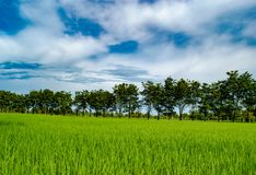 Beautiful blue sky over the Rice field and trees garden,organic farming in the countryside. Amazing blue sky and white cloudy background over the green field Royalty Free Stock Images