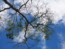 Beautiful blue sky and  some alto cumulous cloud with tree limb. Beautiful blue sky and  some alto-cumulous cloud with tree limb and some green leaf foreground Royalty Free Stock Images