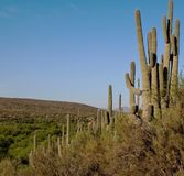 A beautiful blue sky over the Sonoran Desert. A beautiful blue sky in the Sonoran Desert with a hillside of saguaro cacti Royalty Free Stock Image