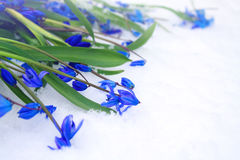 Beautiful blue snowdrops  on snow. Royalty Free Stock Photos