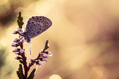 A beautiful blue spotted butterfly sitting on a branch of heather in a morning dew with water droplets on wings. Royalty Free Stock Image