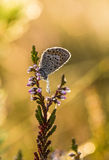 A beautiful blue spotted butterfly sitting on a branch of heather in a morning dew with water droplets on wings. Royalty Free Stock Images