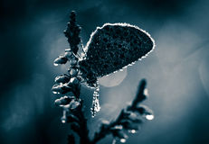 A beautiful blue spotted butterfly sitting on a branch of heather in a morning dew with water droplets on wings. Royalty Free Stock Photography