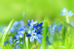 Beautiful, blue, spring scilla flowers Stock Images