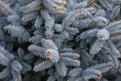 Beautiful blue spruce needles Royalty Free Stock Photography