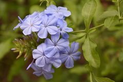 Beautiful blue summer flowers in my garden royalty free stock image