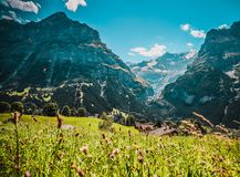 Swiss Alps in the summer. Beautiful blue Swiss Alps in the summer, green grass royalty free stock images