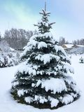 Beautiful blue symmetrical spruce covered with the first fluffy snow in the nature Stock Photography