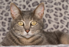 Beautiful blue tabby cat Stock Photos
