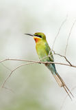 A beautiful Blue tailed bee eater in Jhirna Forest Stock Photos