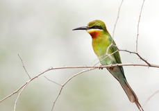 A beautiful Blue tailed bee eater in Jhirna Forest Stock Photography