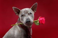 Beautiful thai ridgeback dog in tie holding rose flower Stock Photography