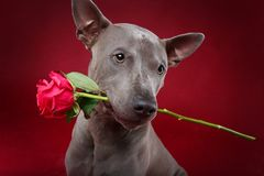 Dog holding rose in mouth. Beautiful blue thai ridgeback male dog holding pink rose in mouth. ctudio shot over red background. copyspace Stock Image
