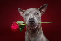 Dog holding rose in mouth. Beautiful blue thai ridgeback male dog holding pink rose in mouth. ctudio shot over red background. copyspace Stock Images